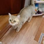 британский котенок с авито)))