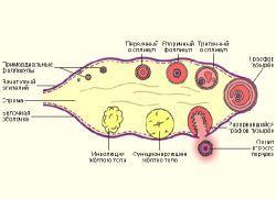 геморрой и варикоз при беременности