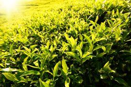 Зеленый чай для похудения: в чем его польза